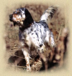 Bobs Straight Creek Llewellins Quality Llewellin Setters For Sale